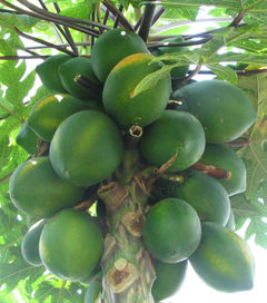 240px-carica_papaya_-_papaya_-_var-tropical_dwarf_papaya_-_desc-fruit