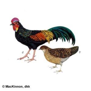 ayam_hutan_hijau