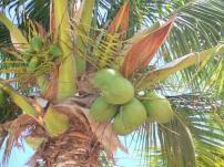 kimangli : pohon kelapa