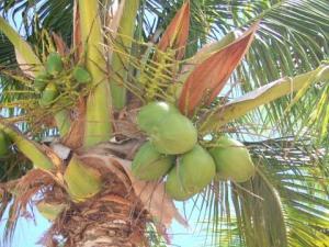 kelapa-pohon